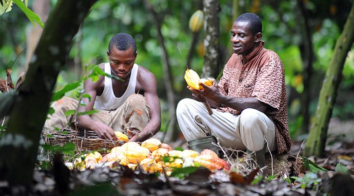 Farmers harvesting Cocoa pods in Ghana